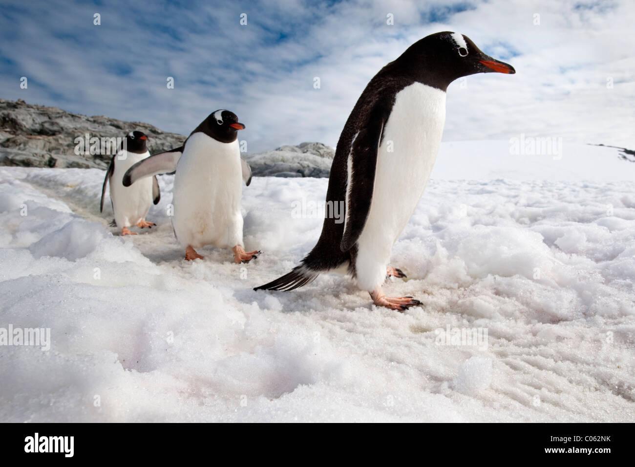 I pinguini di Gentoo, Peterman Island, Penisola Antartica, Antartide. Foto Stock