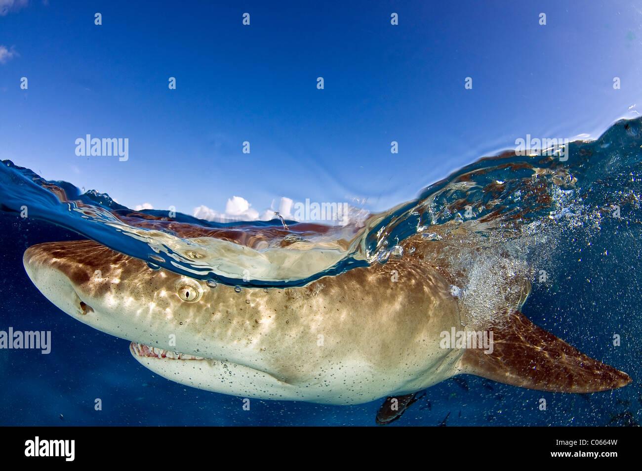 Lo squalo limone nuotano vicino alla superficie, Bahamas Immagini Stock