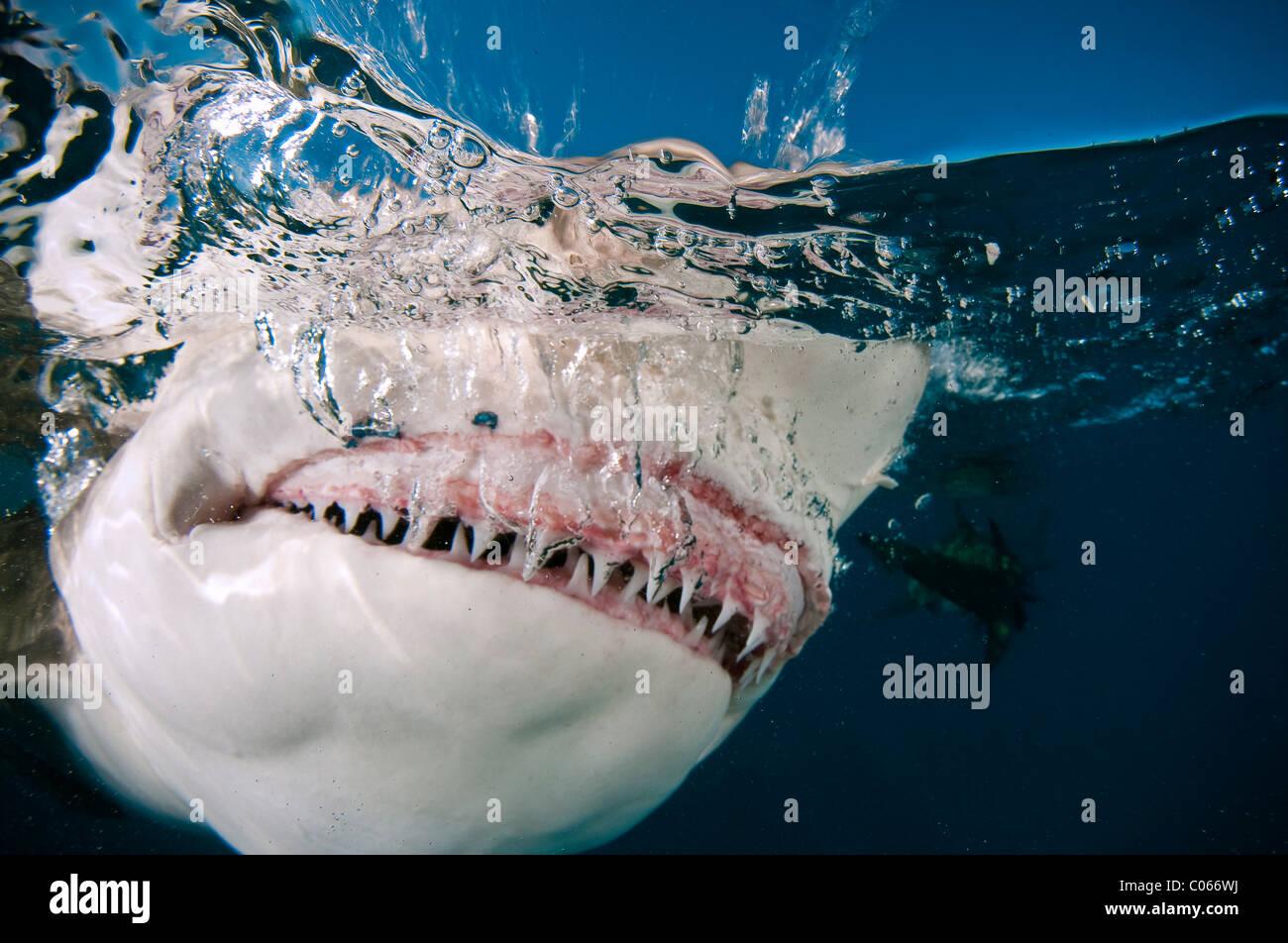 Lo squalo limone Lo scatto in corrispondenza della superficie dell'acqua, Bahamas Immagini Stock
