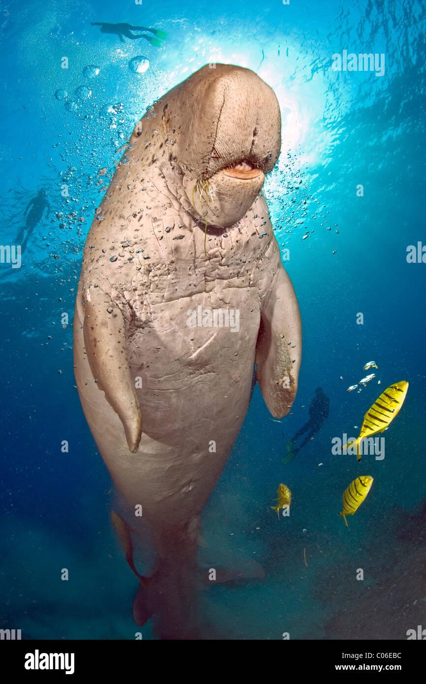 Dugongo con subacquei in background, Marsa Abu Dabab, Mar Rosso, Egitto Immagini Stock