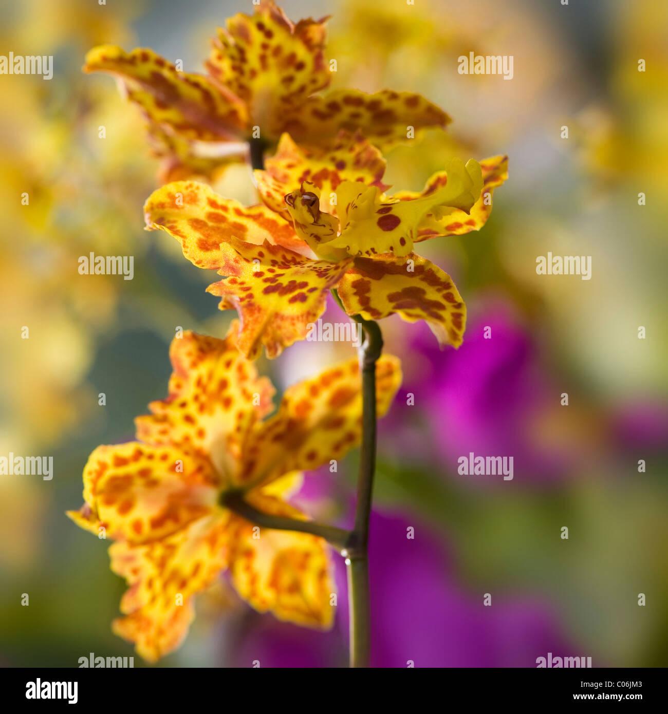 Tiger Orchidee - Odontoglossum Immagini Stock