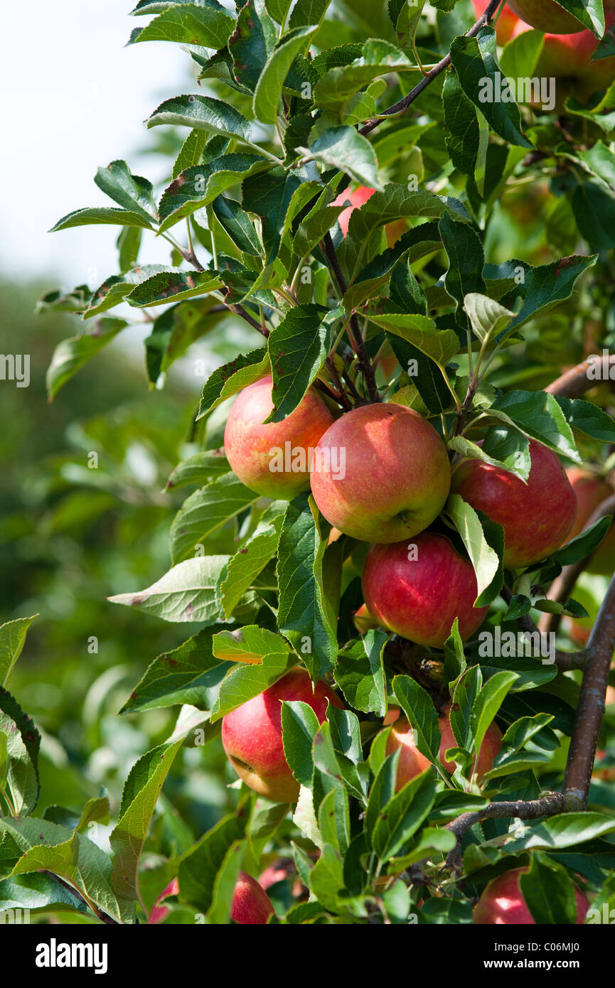 In prossimità di un albero di mele in autunno Immagini Stock