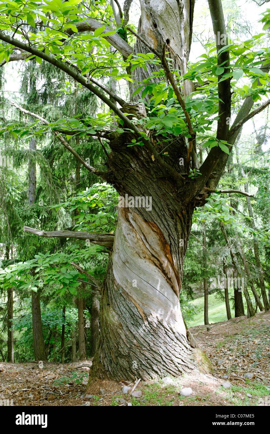 Twisted trunk, castagno vicino Verdings, Keschtnweg, Kastanienweg, Valle Isarco, Alto Adige, Italia, Europa Immagini Stock