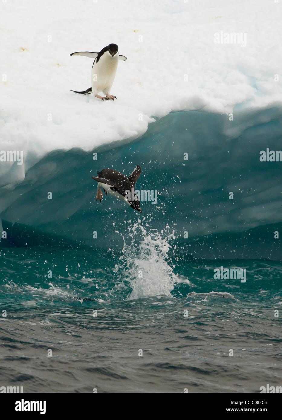 Adelie Penguin immersioni subacquee glaçon, Paulet Island, Penisola Antartica Immagini Stock