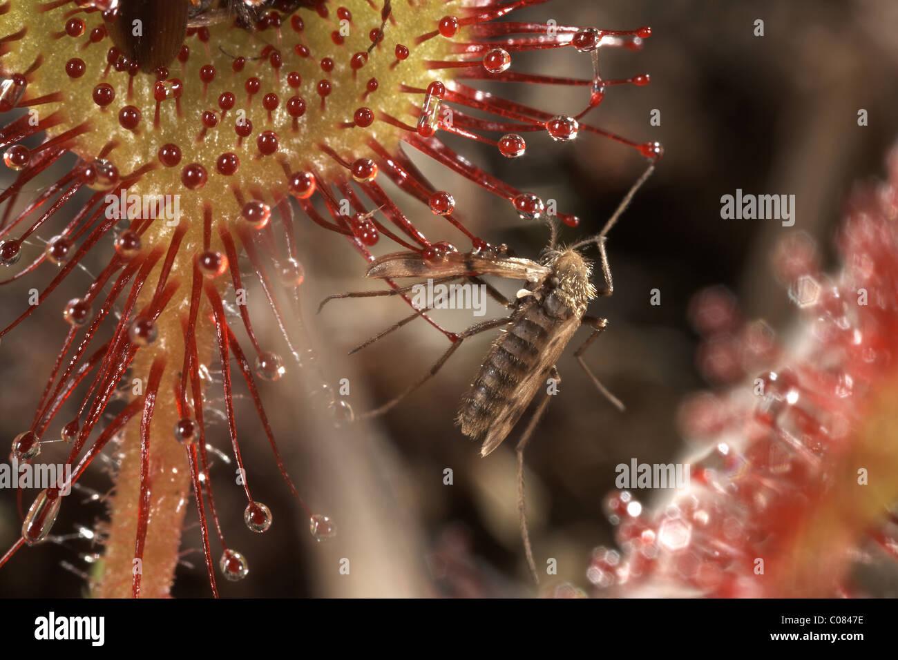 Resti di una zanzara volare catturati su un round lasciava sundew, Drosera rotundifolia, Winfrith Riserva Naturale Immagini Stock