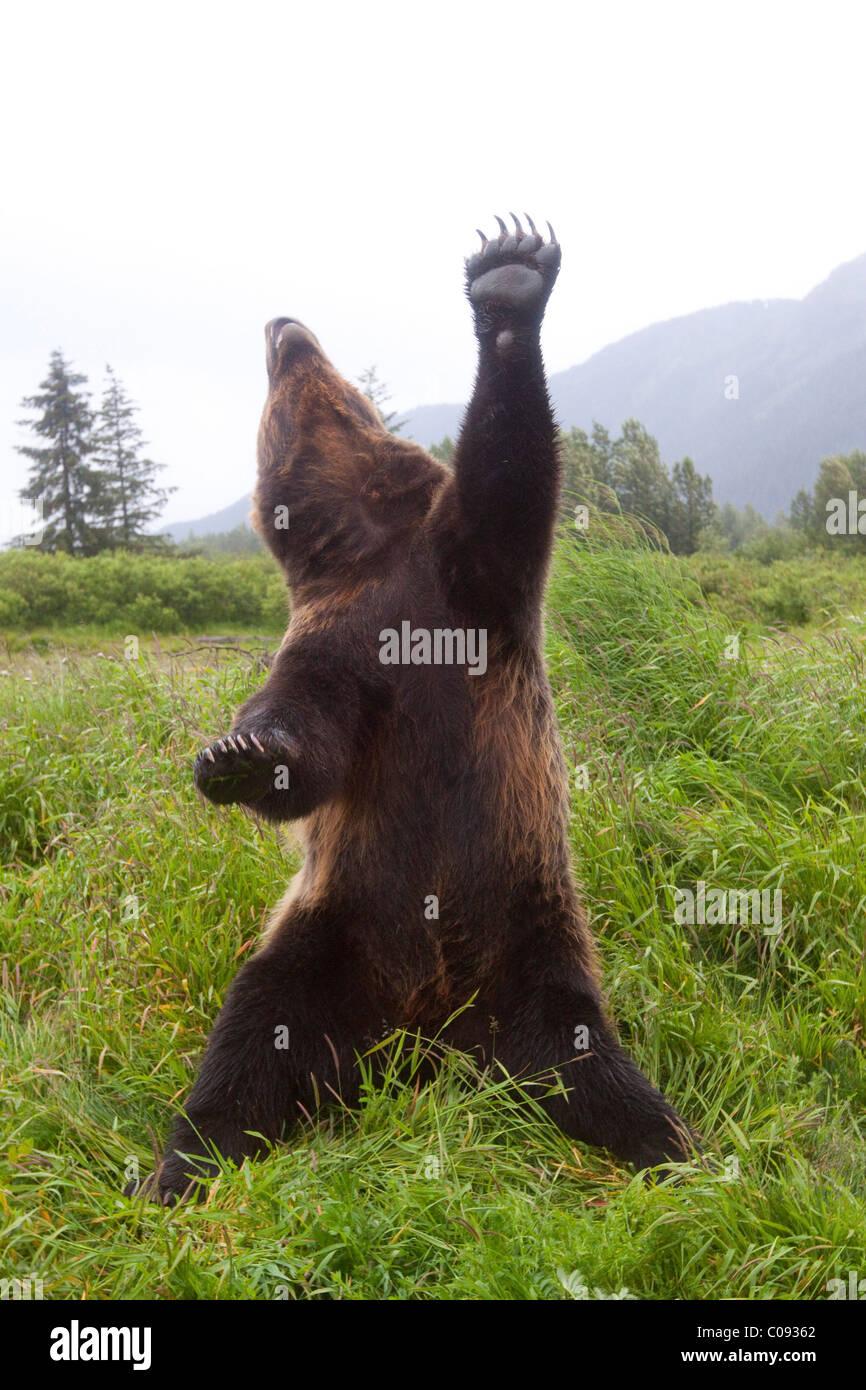 Maschio di orso bruno sorge in posizione verticale con una zampa e capo stirato skyward, Alaska. Captive Immagini Stock