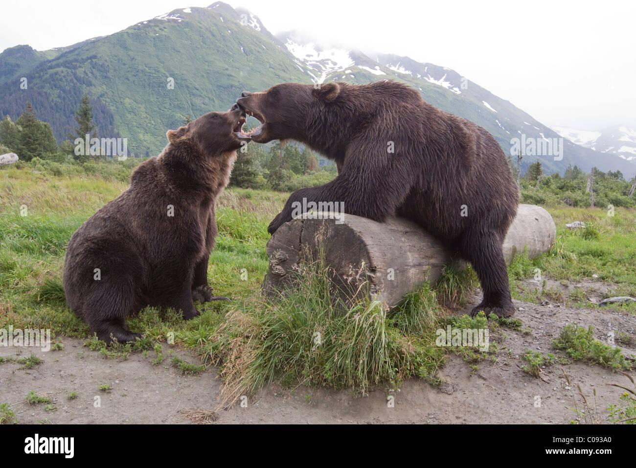 Una coppia di captive orso bruno ringhio e toccare bocche aperte su un log in Alaska Wildlife Conservation Centre, Immagini Stock