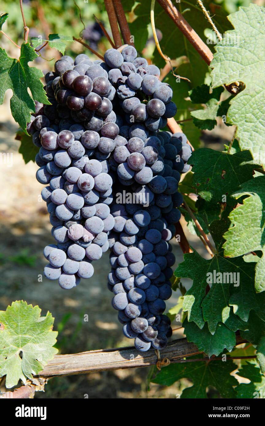 Il Barbaresco uve, Provincia di Alba e Asti, Cuneo, Piemonte, Italia, Europa Immagini Stock