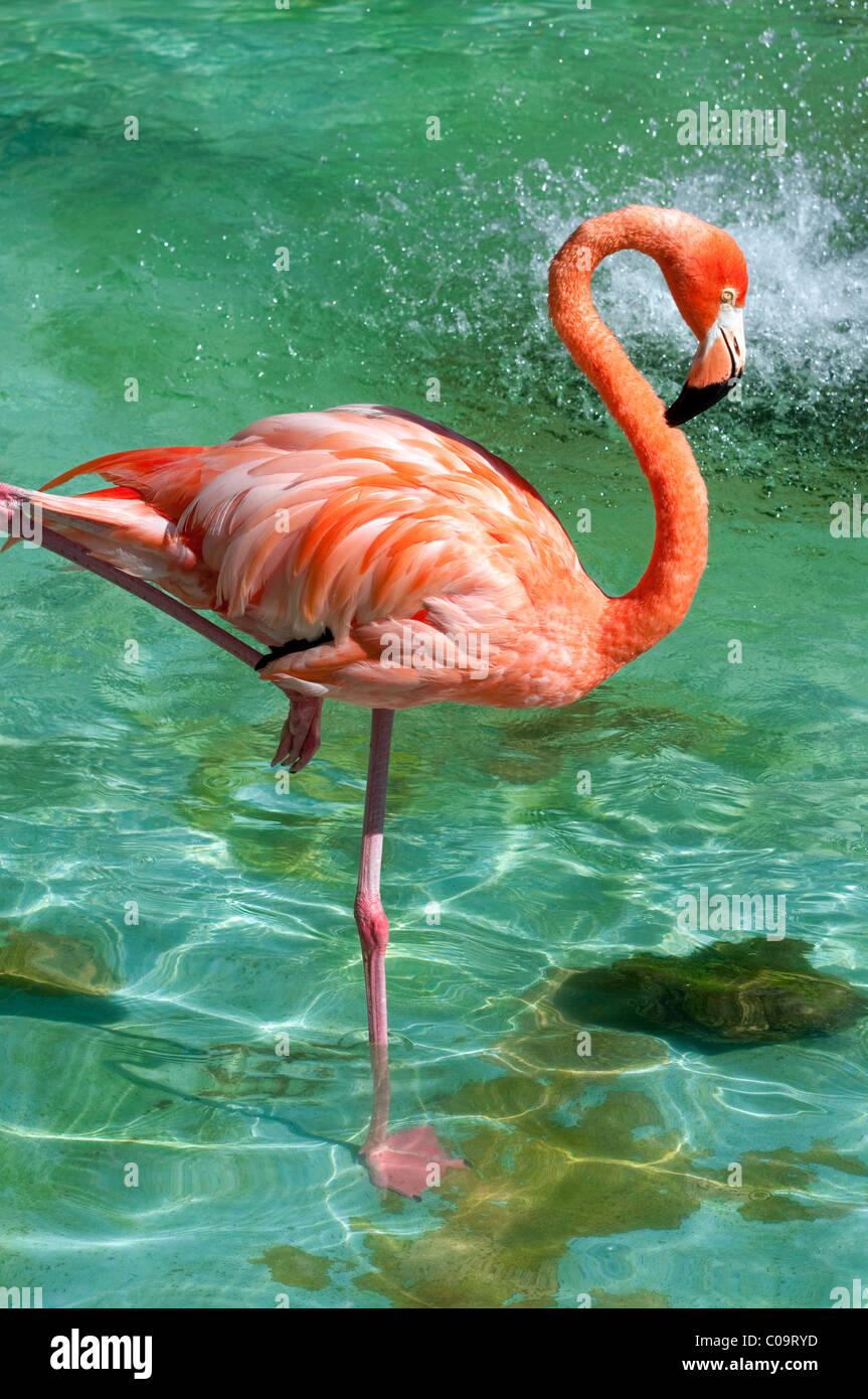 Fenicottero rosa, Punta Cana Repubblica Dominicana Immagini Stock