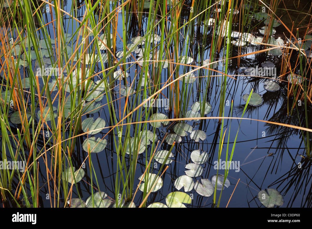Silent laghetto con le ninfee fioritura in acqua Immagini Stock