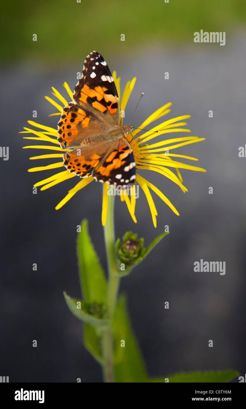 Painted Lady ( Vanessa cardui , Nymphalidae ) farfalla succhiare nettare da fiore giallo , Finlandia Foto Stock