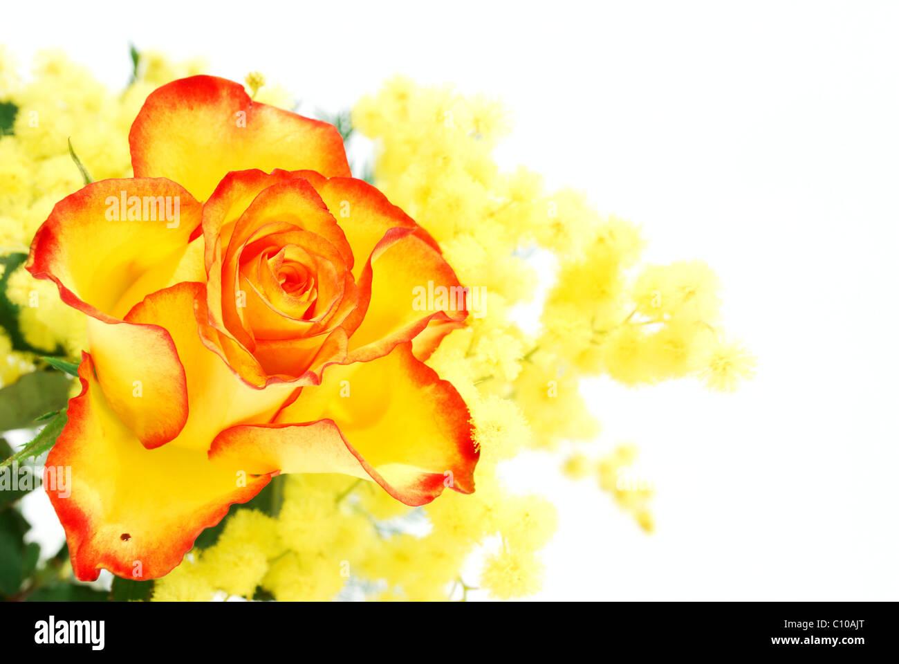 Mimosa giallo e rosso-rosa gialla fotografato su sfondo bianco Immagini  Stock fcab1fea5f8a