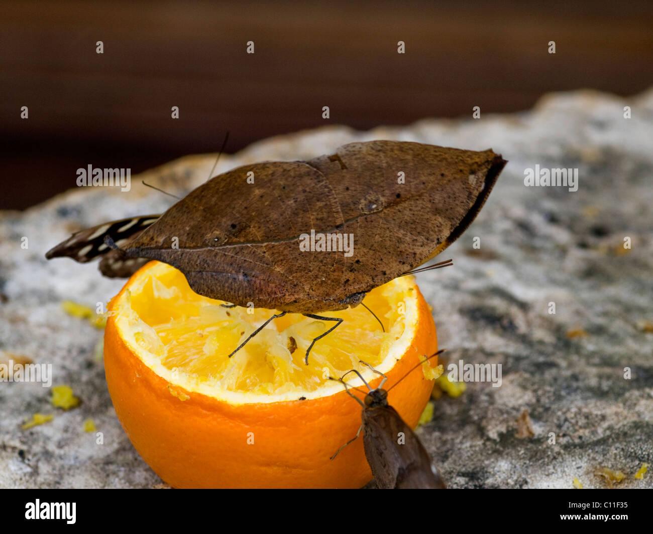 Foglia indiano butterfly alimentazione su un arancione con le sue ali chiuso Immagini Stock