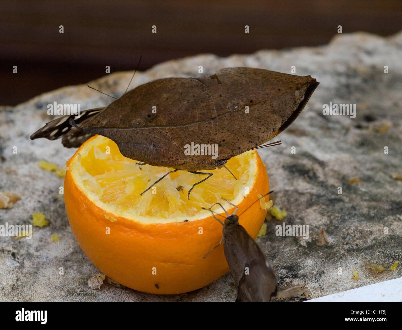 Foglia indiano butterfly alimentazione su un taglio di colore arancione Immagini Stock