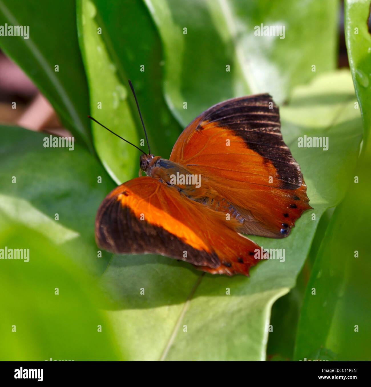 La procedura guidata butterfly, Rhinopalpa polynice Immagini Stock