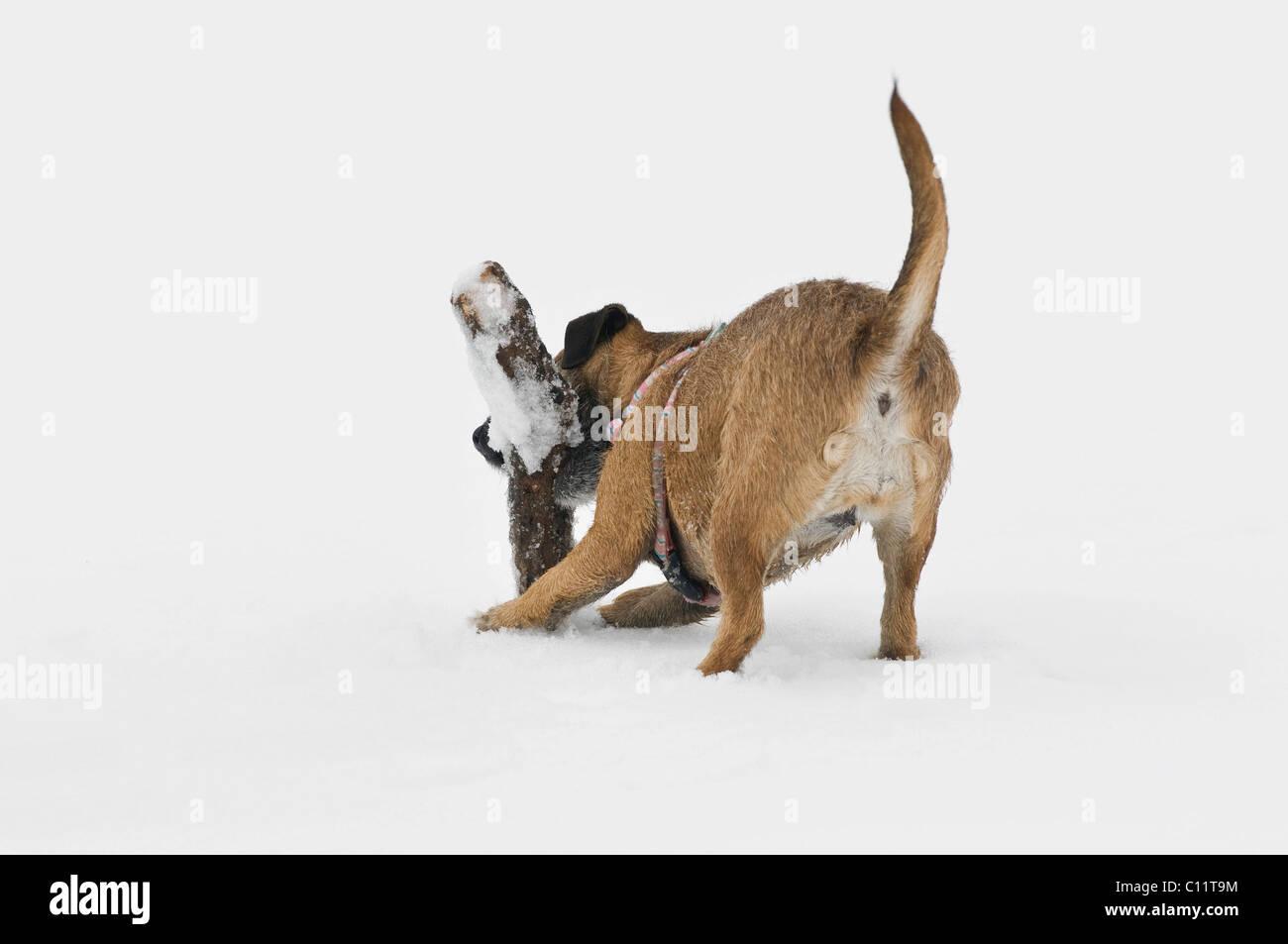 Terrier incroci di recupero di una succursale nella neve Immagini Stock