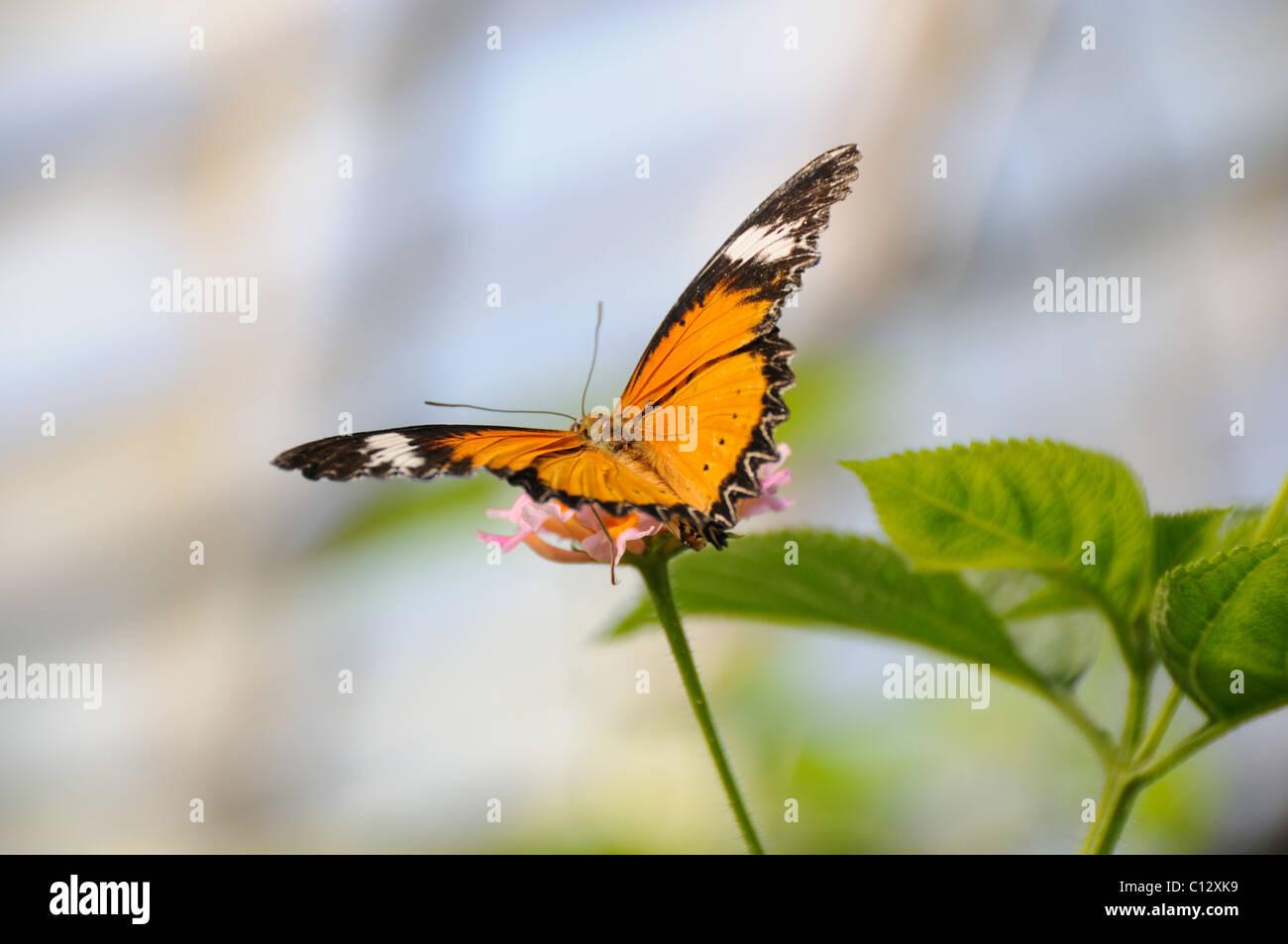 Farfalle tropicali Immagini Stock