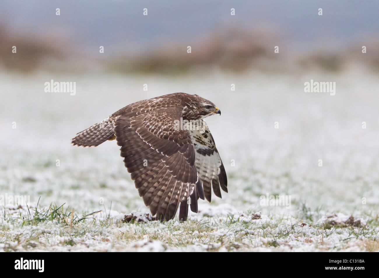 Comune Poiana (Buteo buteo) in volo sopra coperta di neve campo Immagini Stock