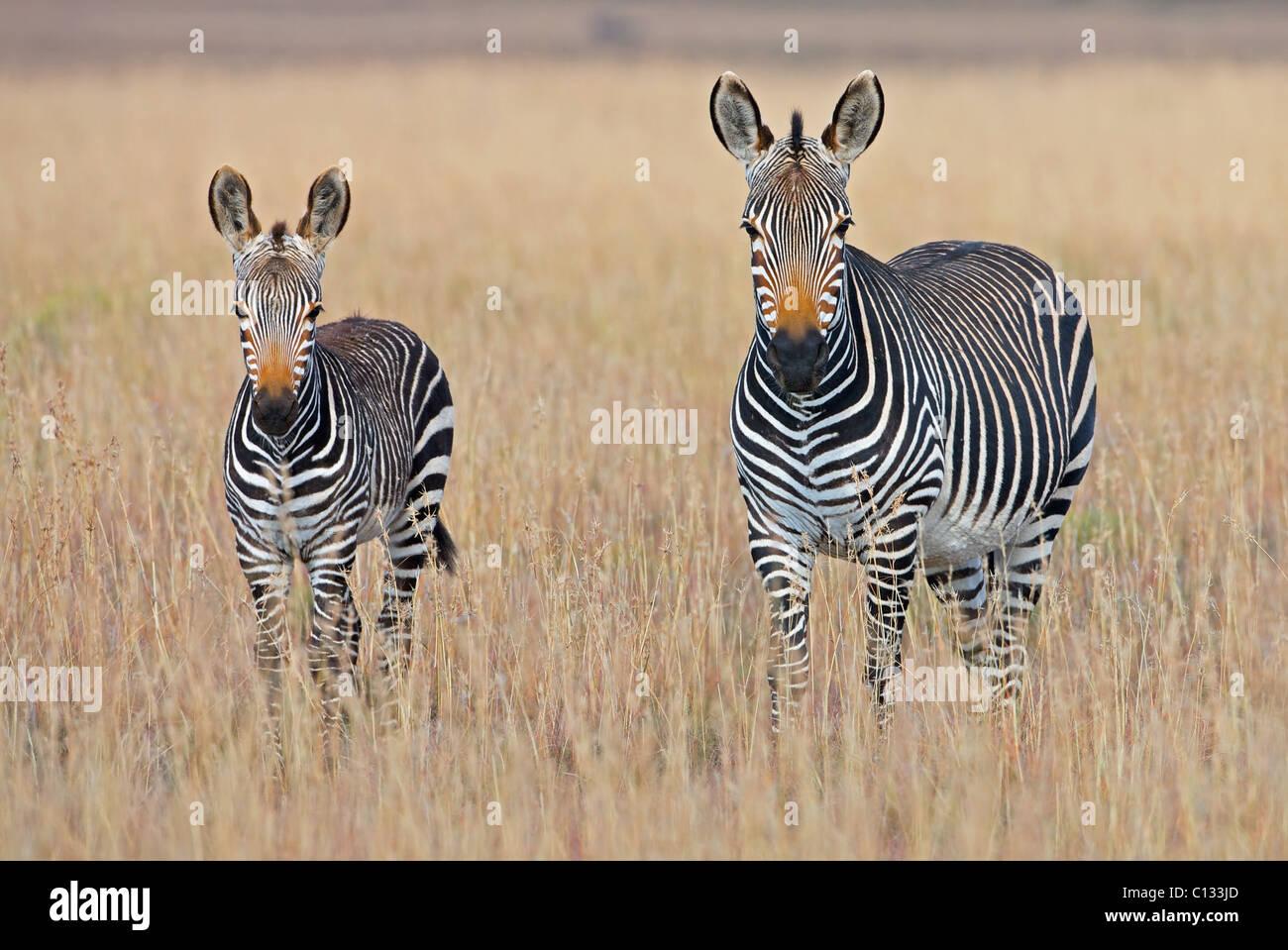 Le pianure zebra (Equus quagga) con il puledro in praterie, Mountain Zebra National Park, Eastern Cape Province, Immagini Stock