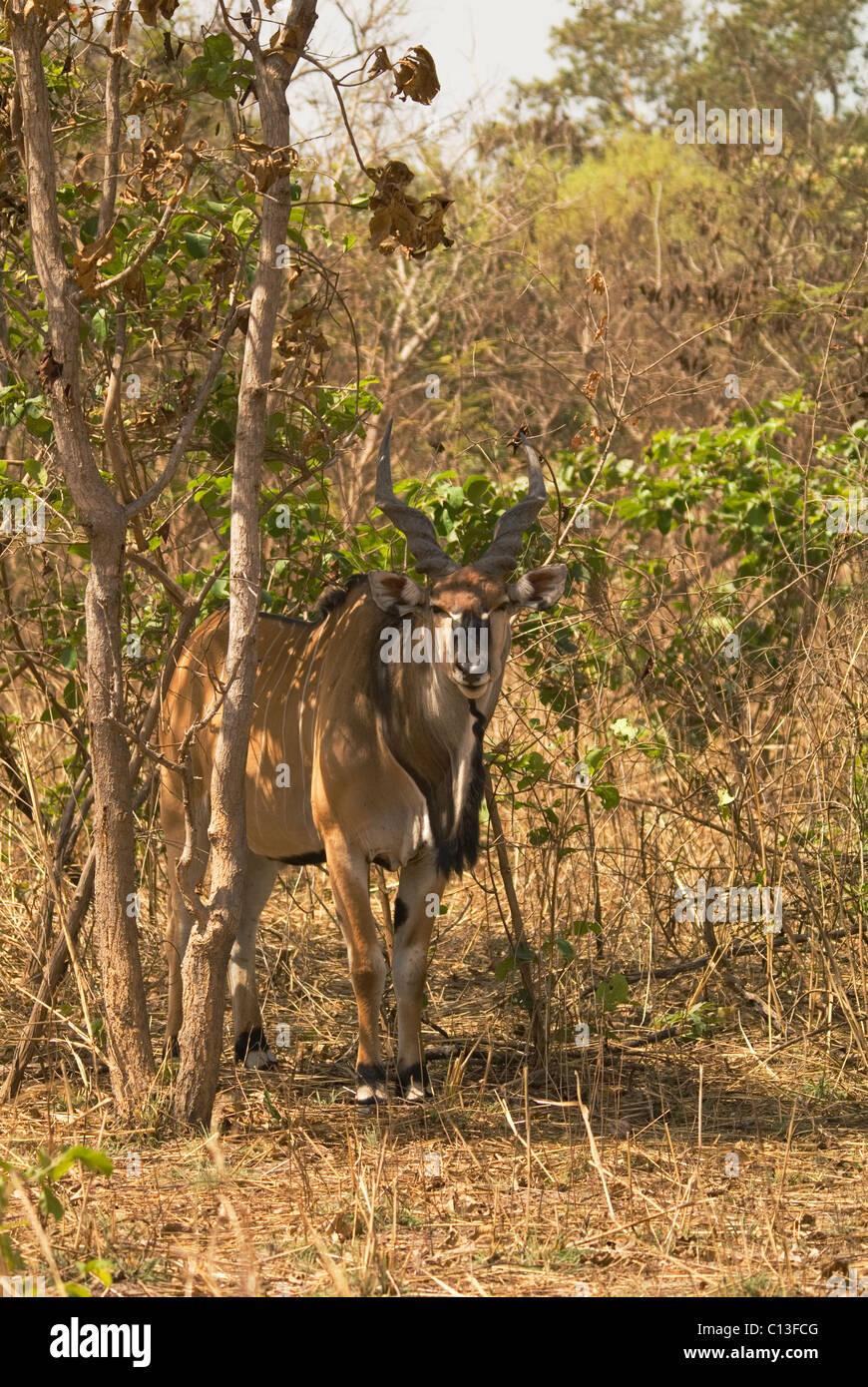 Giant eland (Taurotragus derbianus) noto anche come Lord Derby eland Fathala Game Reserve nel nord del Senegal Immagini Stock