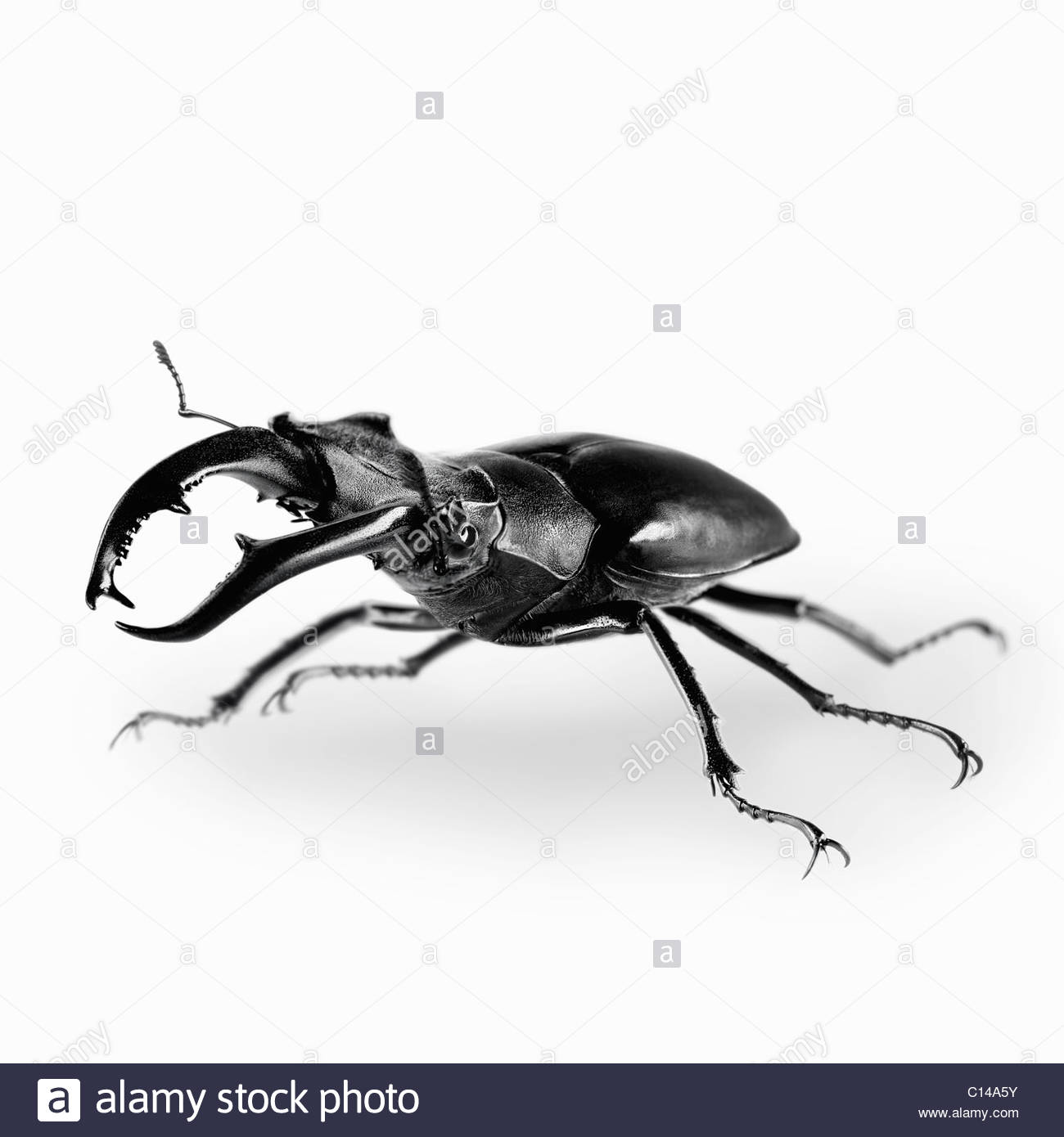 Close up stag beetle Immagini Stock