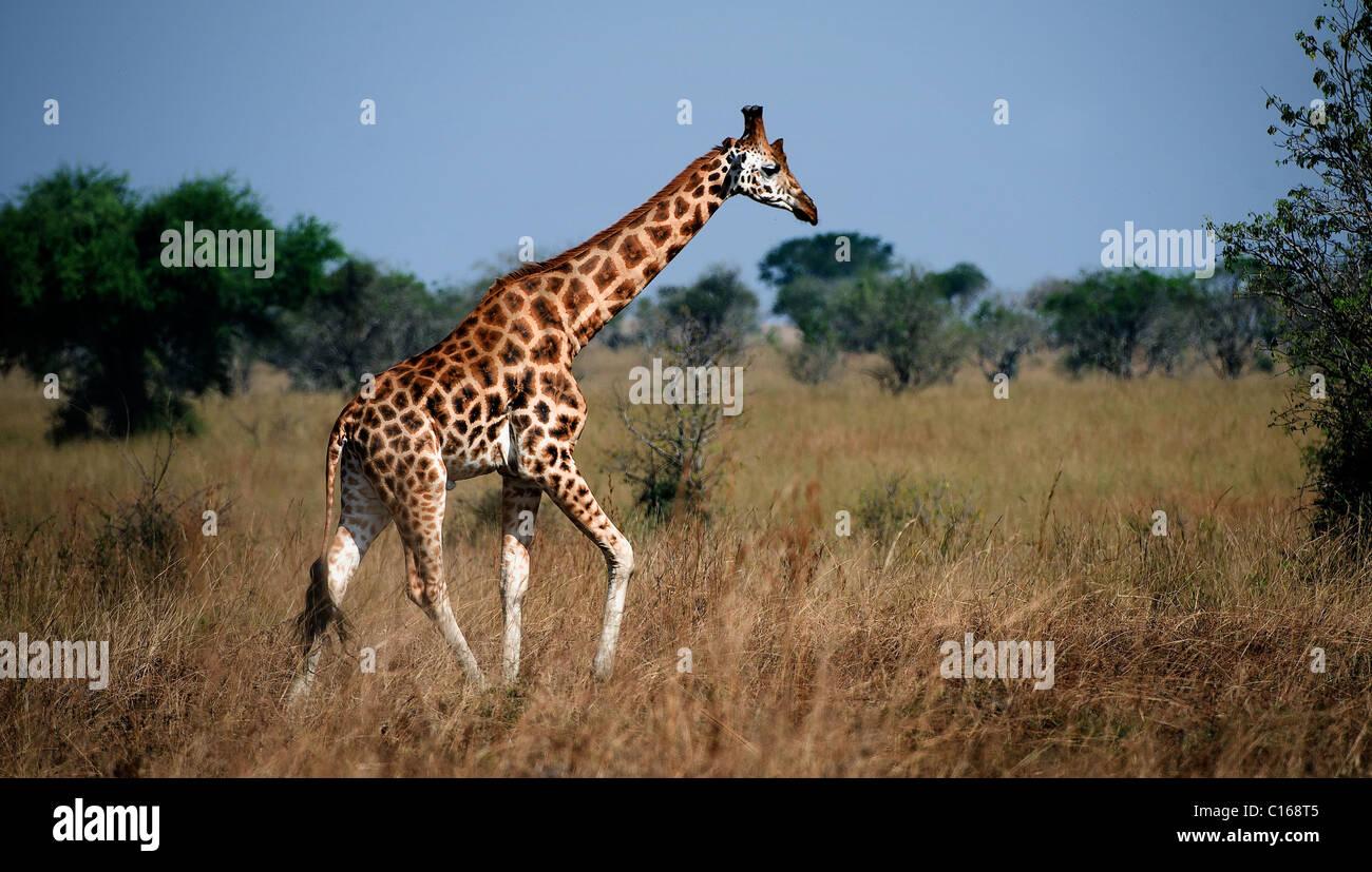 Giraffa camelopardalis. Uganda. Queen Elizabeth National Park.La giraffa passeggiate sulla savana. Immagini Stock