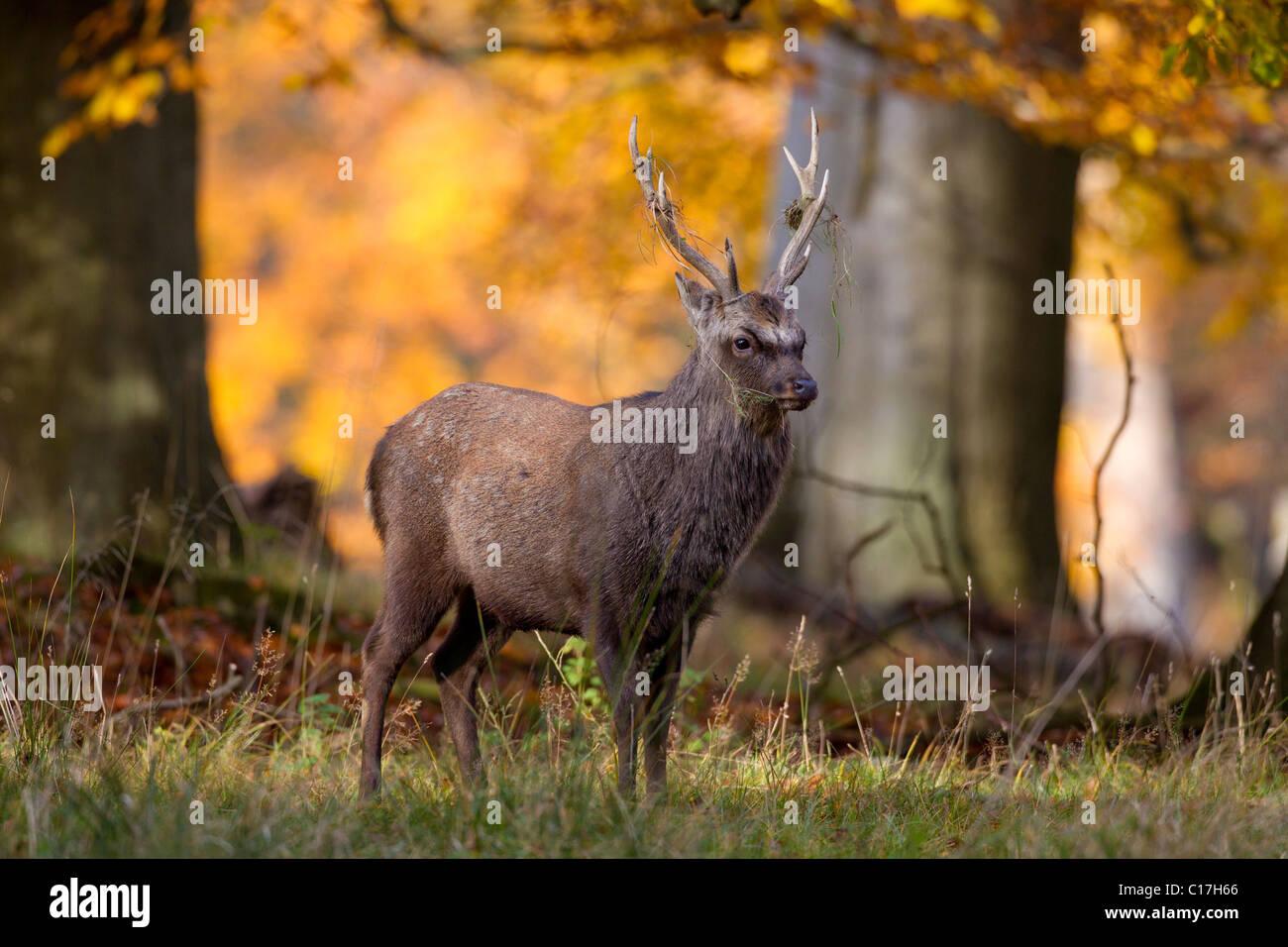 Sika cervo (Cervus nippon) feste di addio al celibato in autunno la foresta, Danimarca Immagini Stock