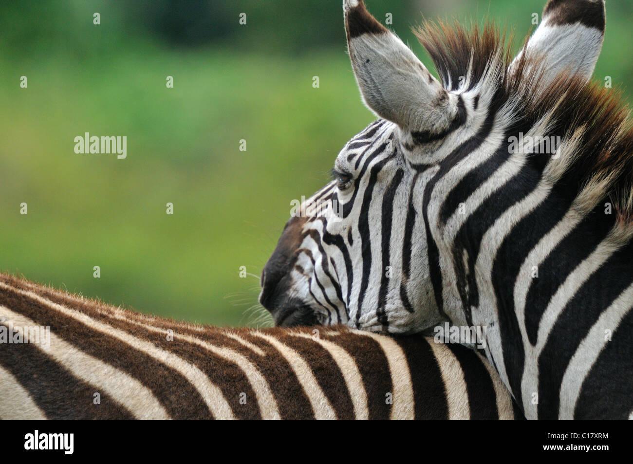 Zebra vicino ad Arusha in Tanzania Immagini Stock