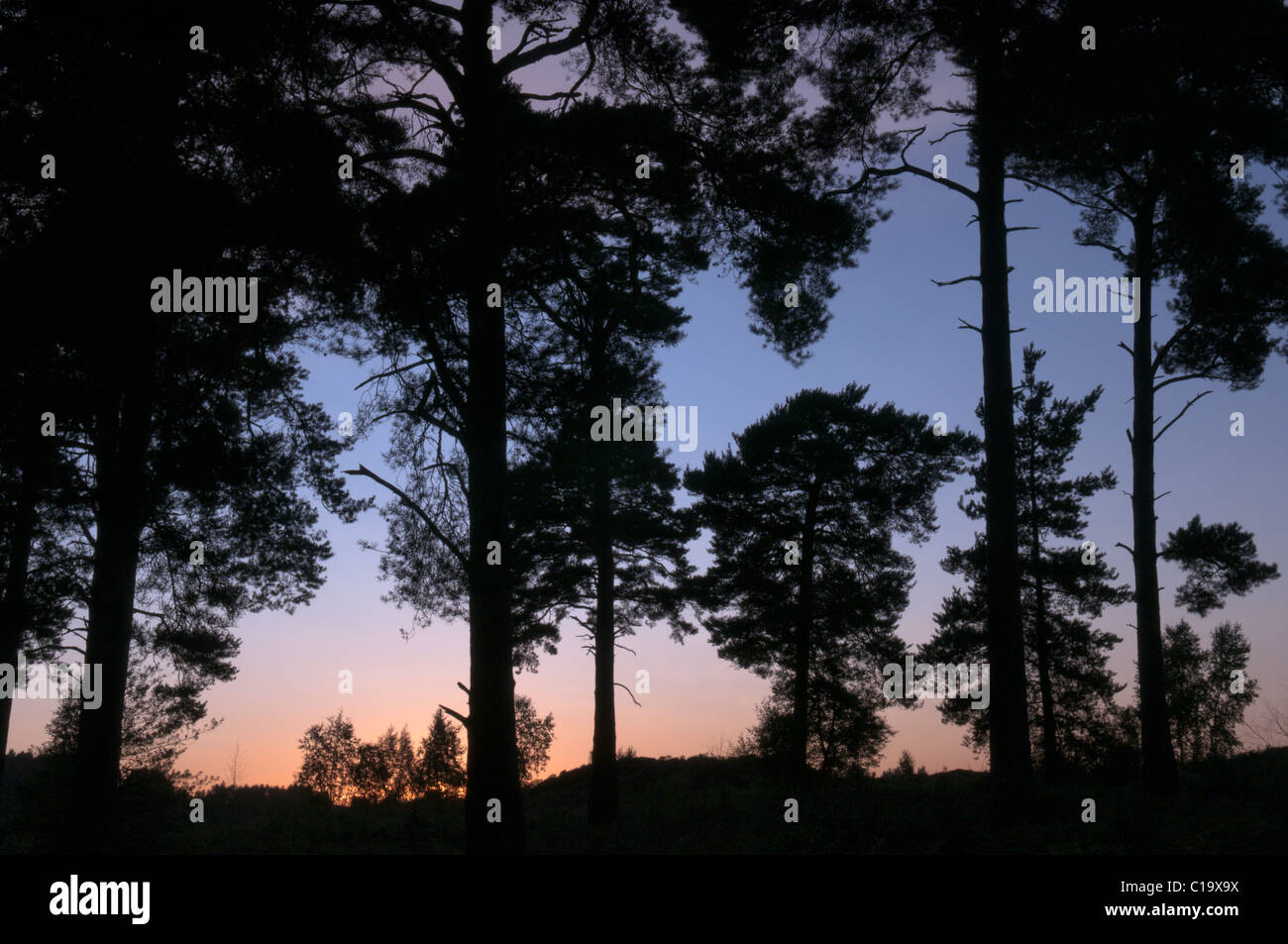 Tramonto attraverso Scots pini (Pinus sylvestris) sul comune Iping (locale riserva naturale), Midhurst, West Sussex, Immagini Stock