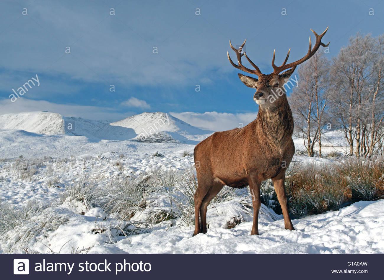 Stag Cervo su una coperta di neve paesaggio invernale nelle highlands scozzesi Immagini Stock
