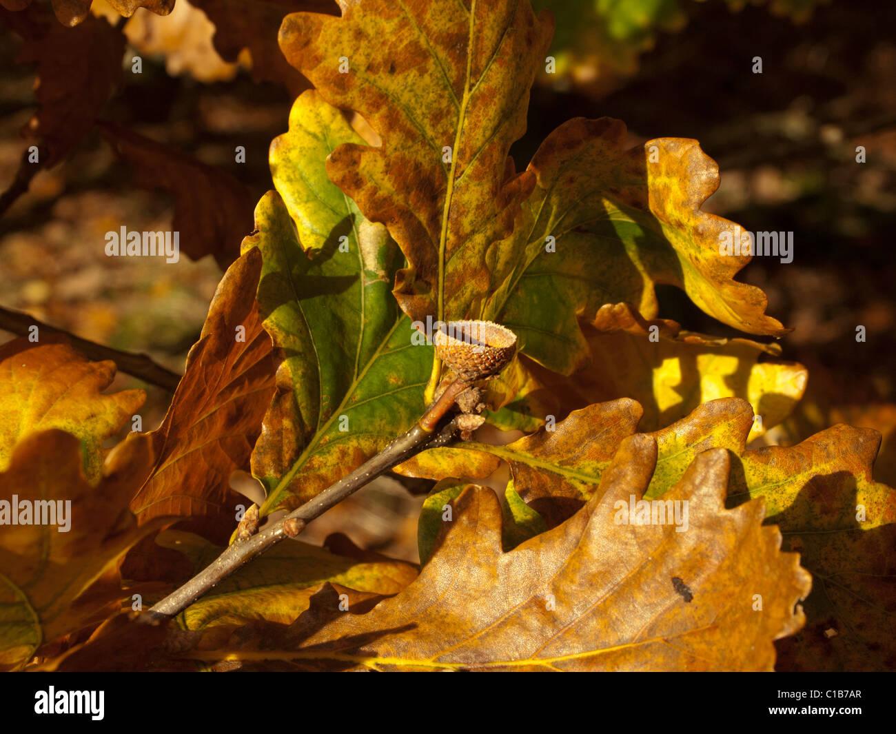Foglie di quercia e vuoto acorn cup nel colore di autunno Immagini Stock