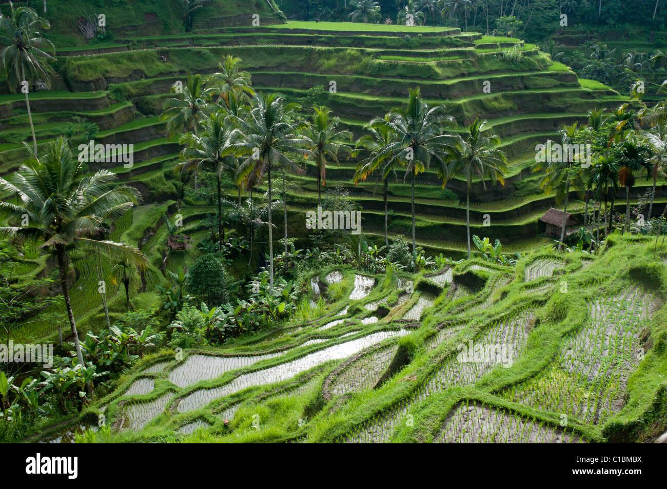 Risaie A Terrazze Nei Pressi Di Ubud A Bali Indonesia Foto