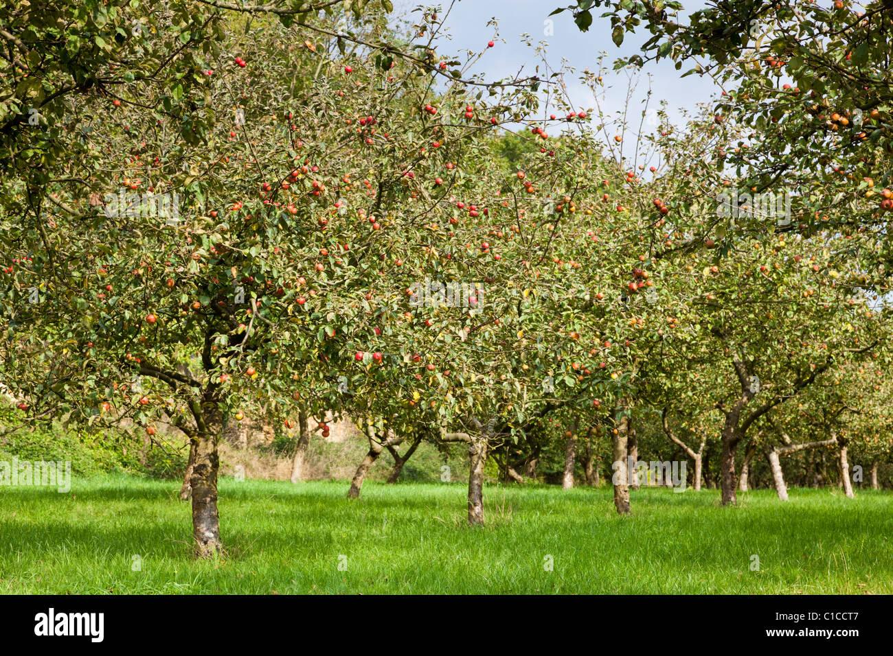 Apple tree Orchard Immagini Stock