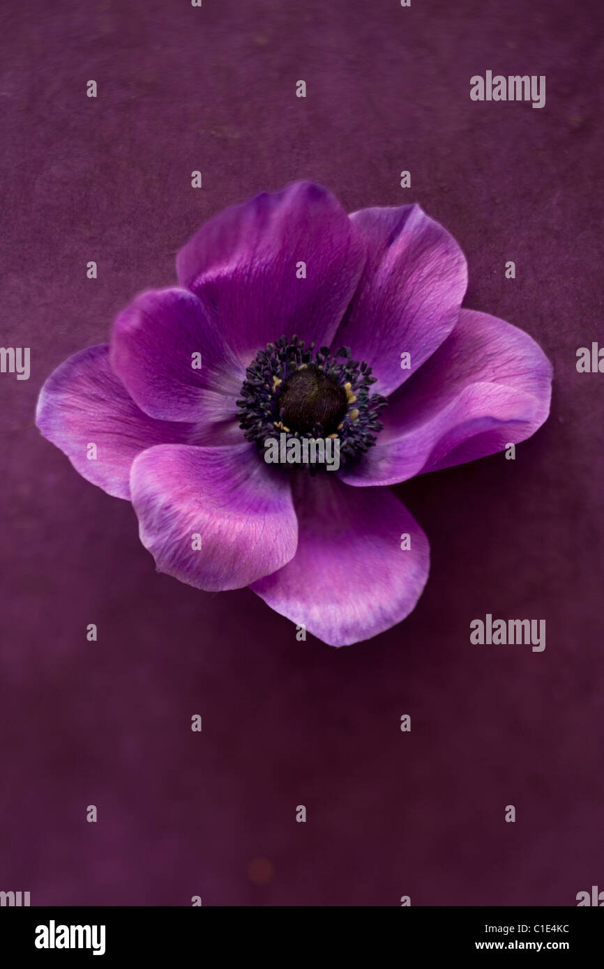 Viola peonia fiore Immagini Stock
