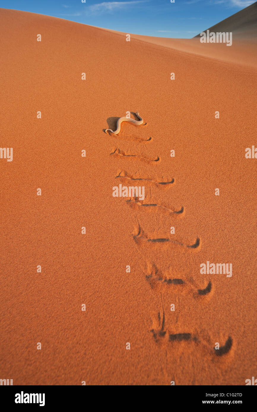 Il sommatore di Sidewinder (Bitis peringueyi) è un infame viper specie nel deserto del Namib Immagini Stock
