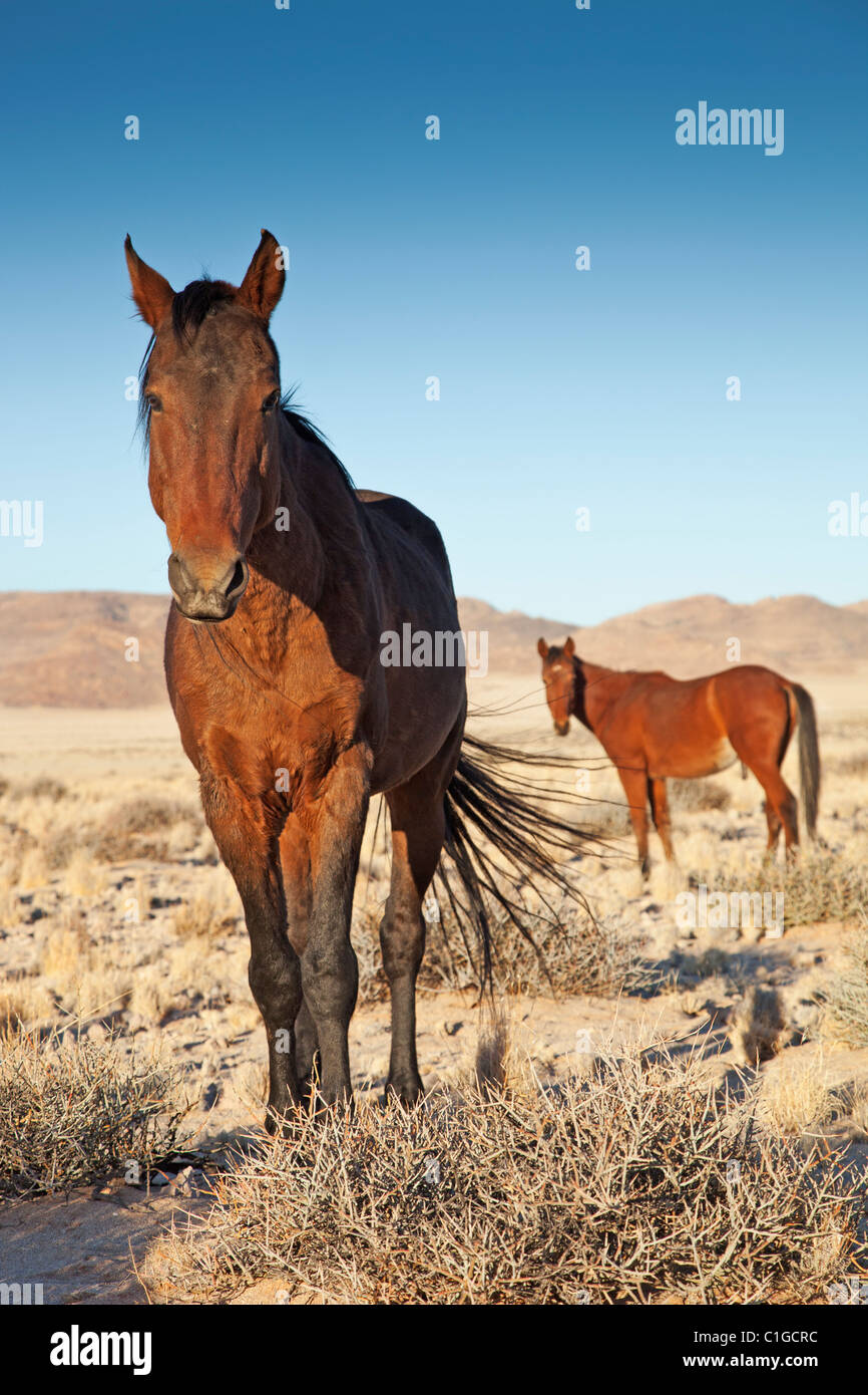Deserto del Namib Feral Horses Immagini Stock