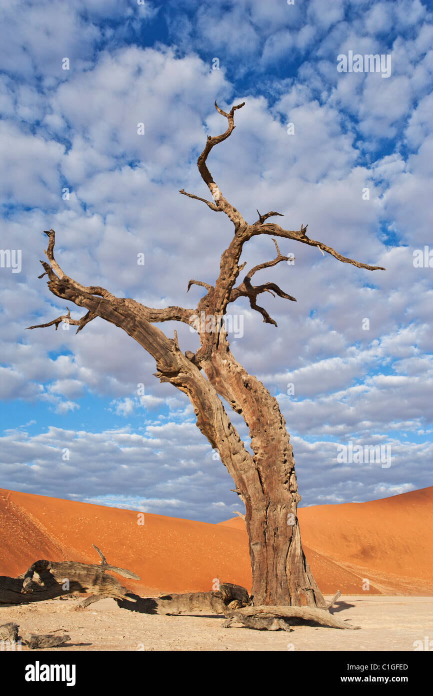 Dead Acacia Sossusvlei nel deserto del Namib. Namib-Naukluft N.P, Namibia Immagini Stock