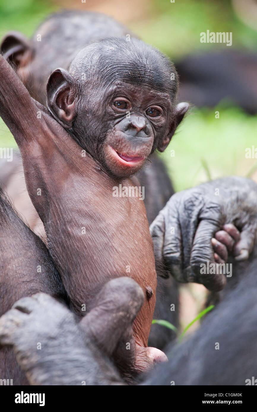La madre e il bambino Bonobo scimpanzé al Santuario Lola Ya Bonobo, Repubblica Democratica del Congo Immagini Stock