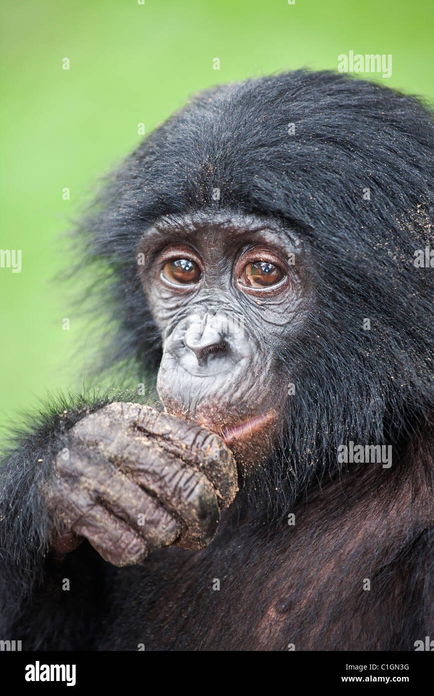 Baby Bonobo uno scimpanzé di mangiare al Santuario Lola Ya Bonobo, Repubblica Democratica del Congo Immagini Stock