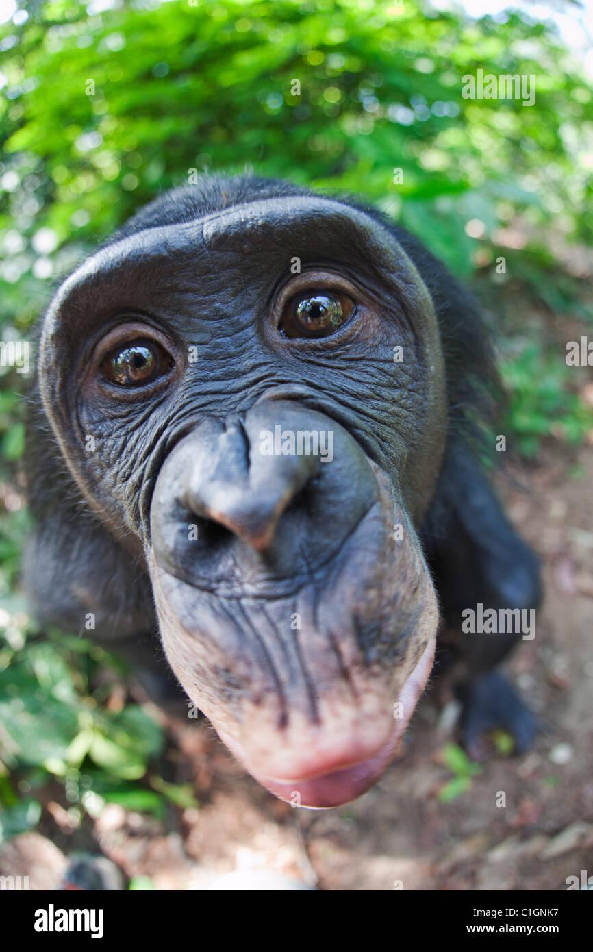 Bonobo scimpanzé al Santuario Lola Ya Bonobo, Repubblica Democratica del Congo Immagini Stock