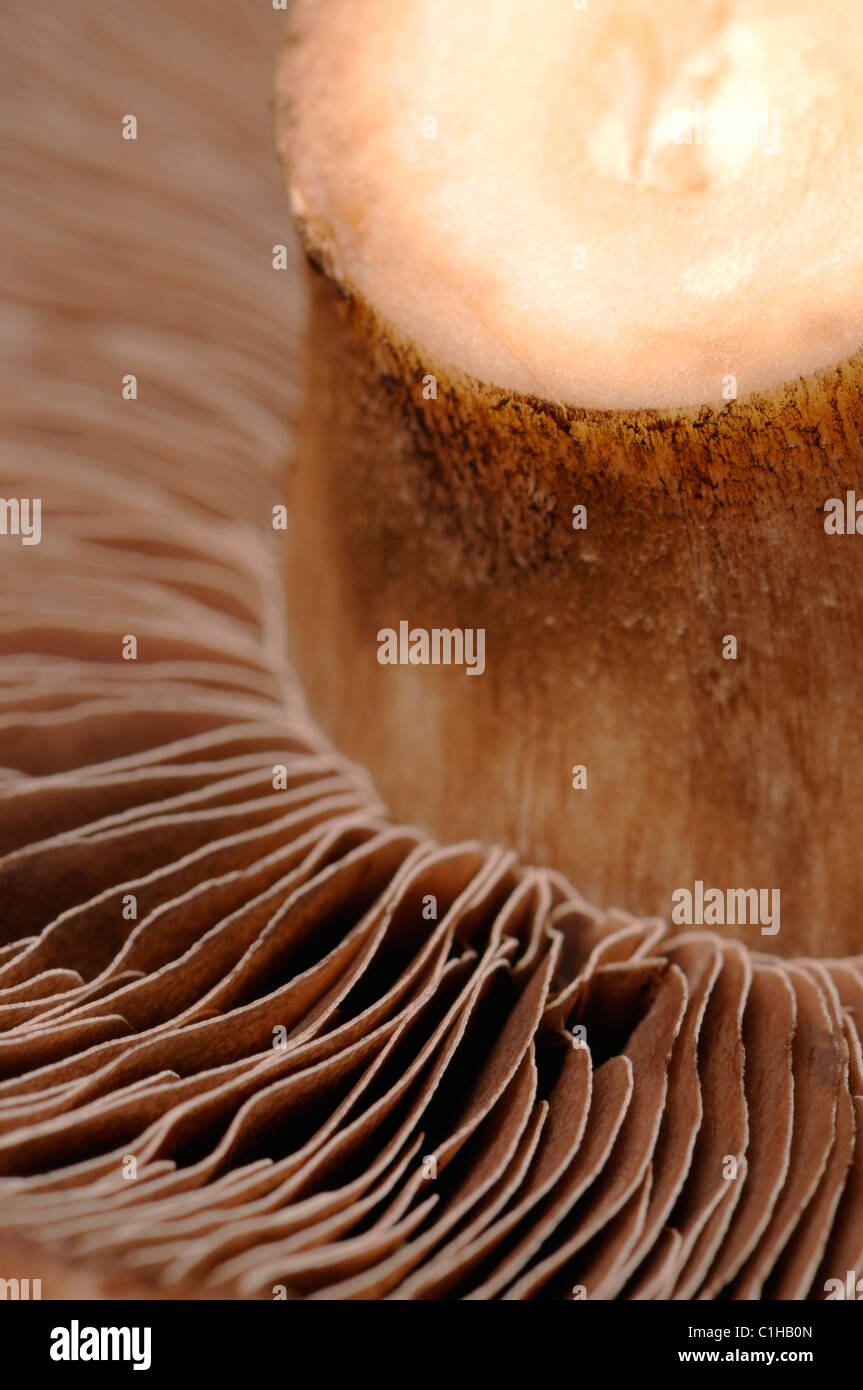 Campo grande fungo - parte inferiore mostra spore Foto Stock