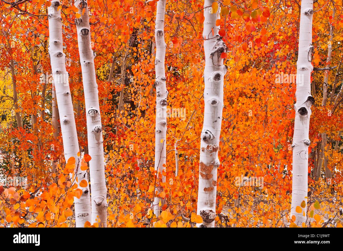 Neve fresca su fall aspens lungo il vescovo Creek, Inyo National Forest, Sierra Nevada, in California, Stati Uniti Immagini Stock