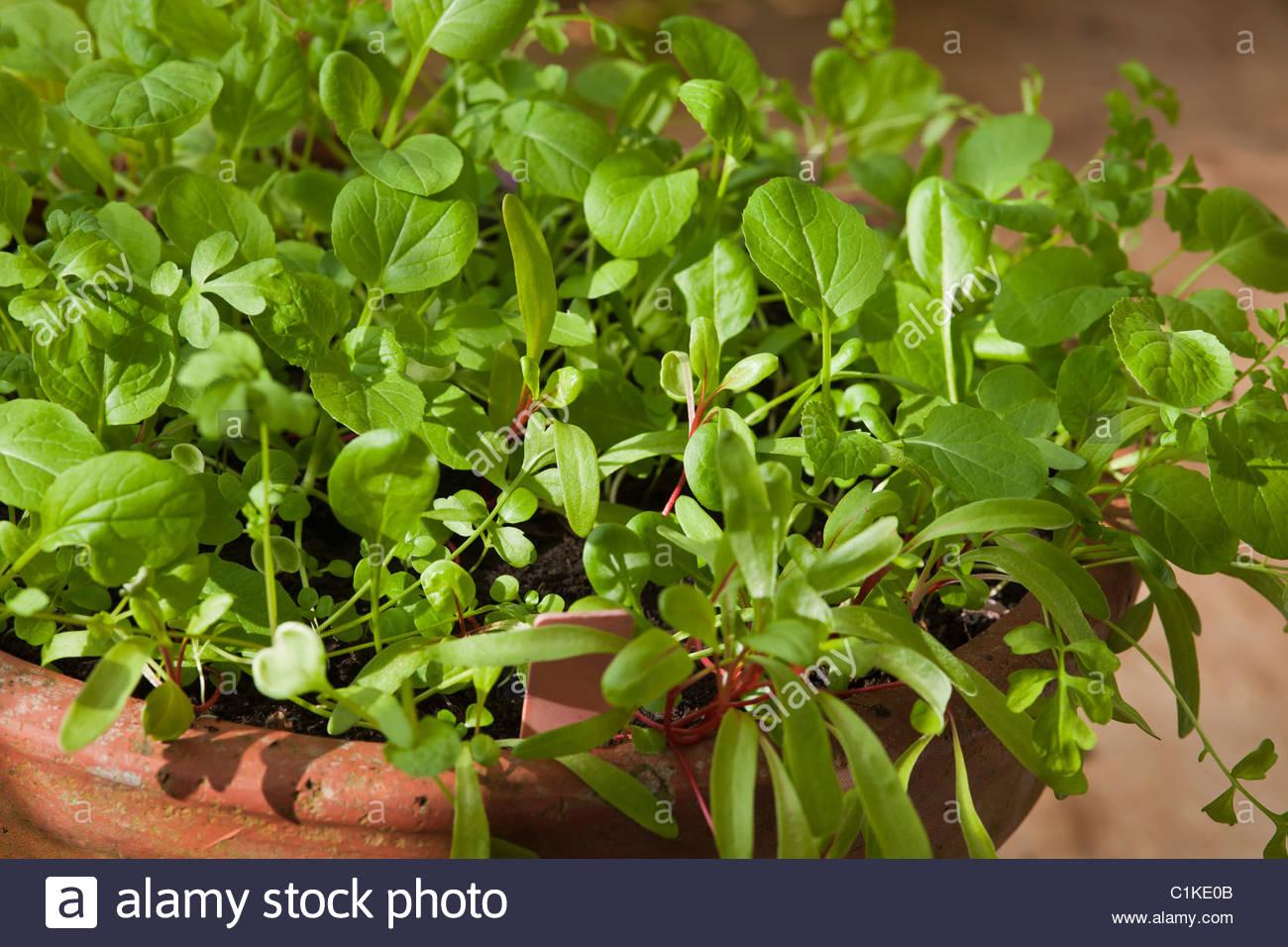 Baby insalata di foglie di piantine crescono germoglio verde ...