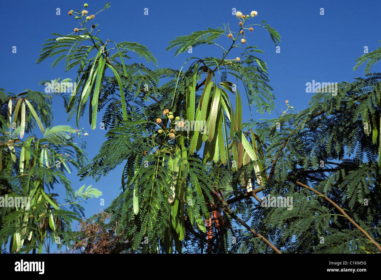 La Mimosa o acacia albero in fiore e con molto lunga seedpods Immagini Stock