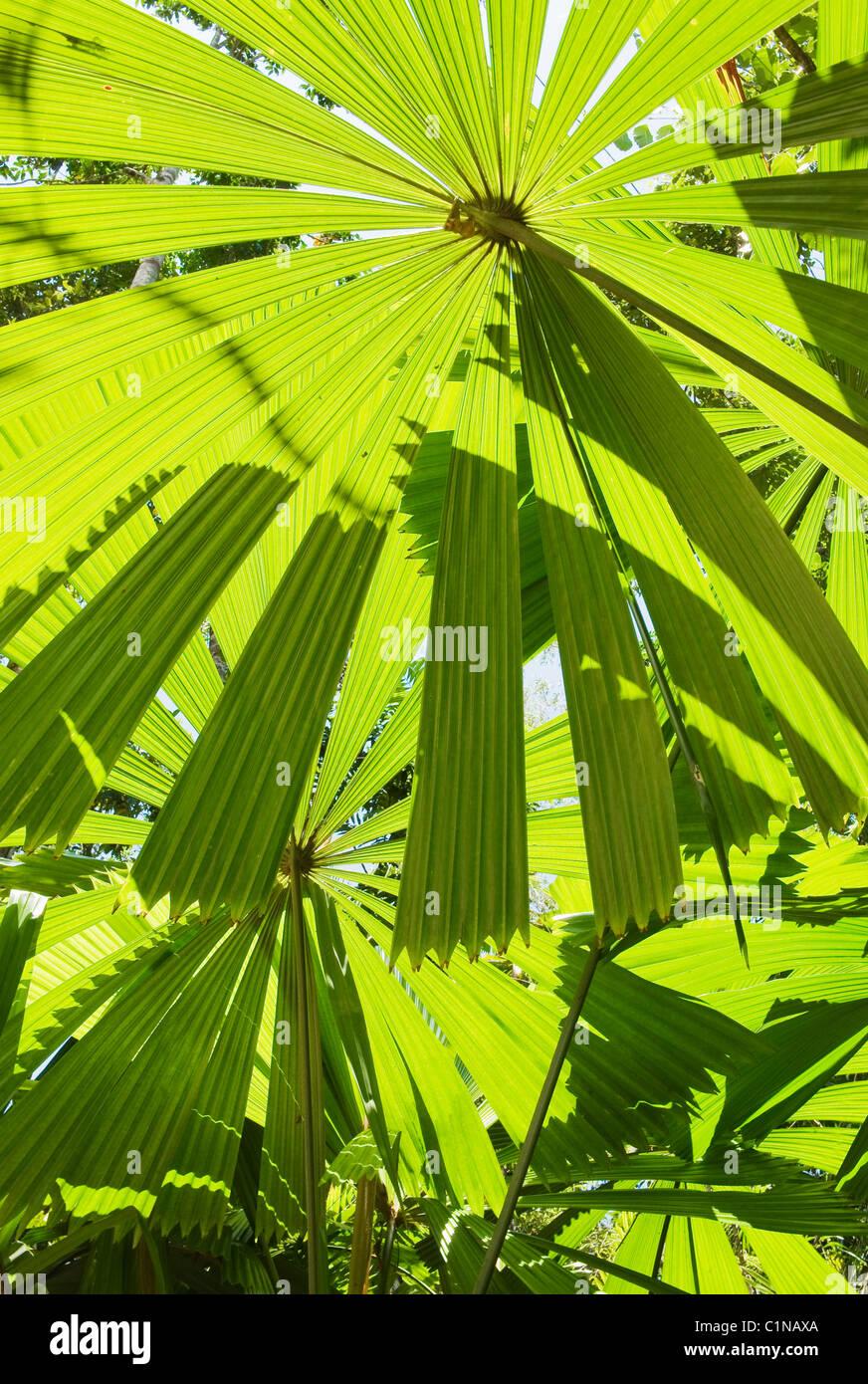 Licuala Palm, o ventola australiano Palm (Licuala ramsayi) albero endemiche, Licuala membro foresta, Mission Beach, Immagini Stock