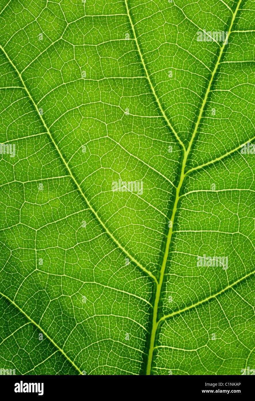 Sfondo Verde Foglie Di Quercia Closeup Texture Foto Immagine