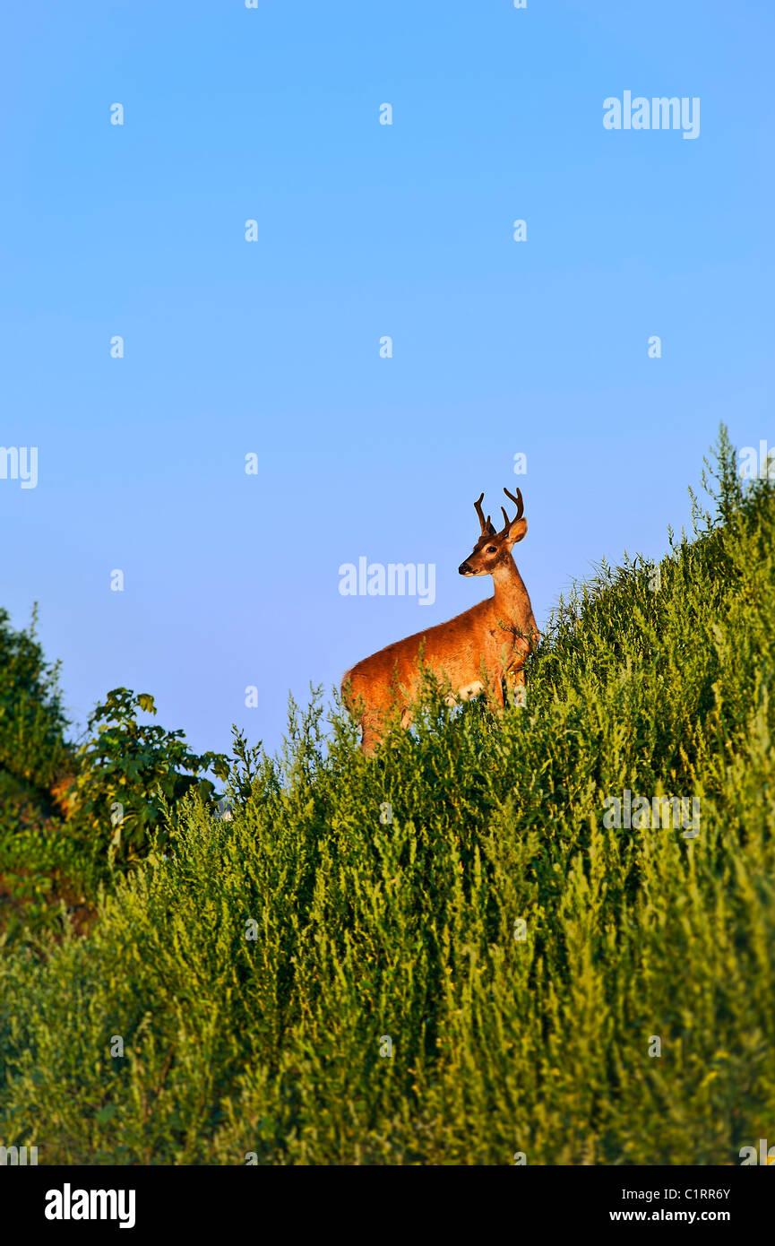 Deer buck Immagini Stock