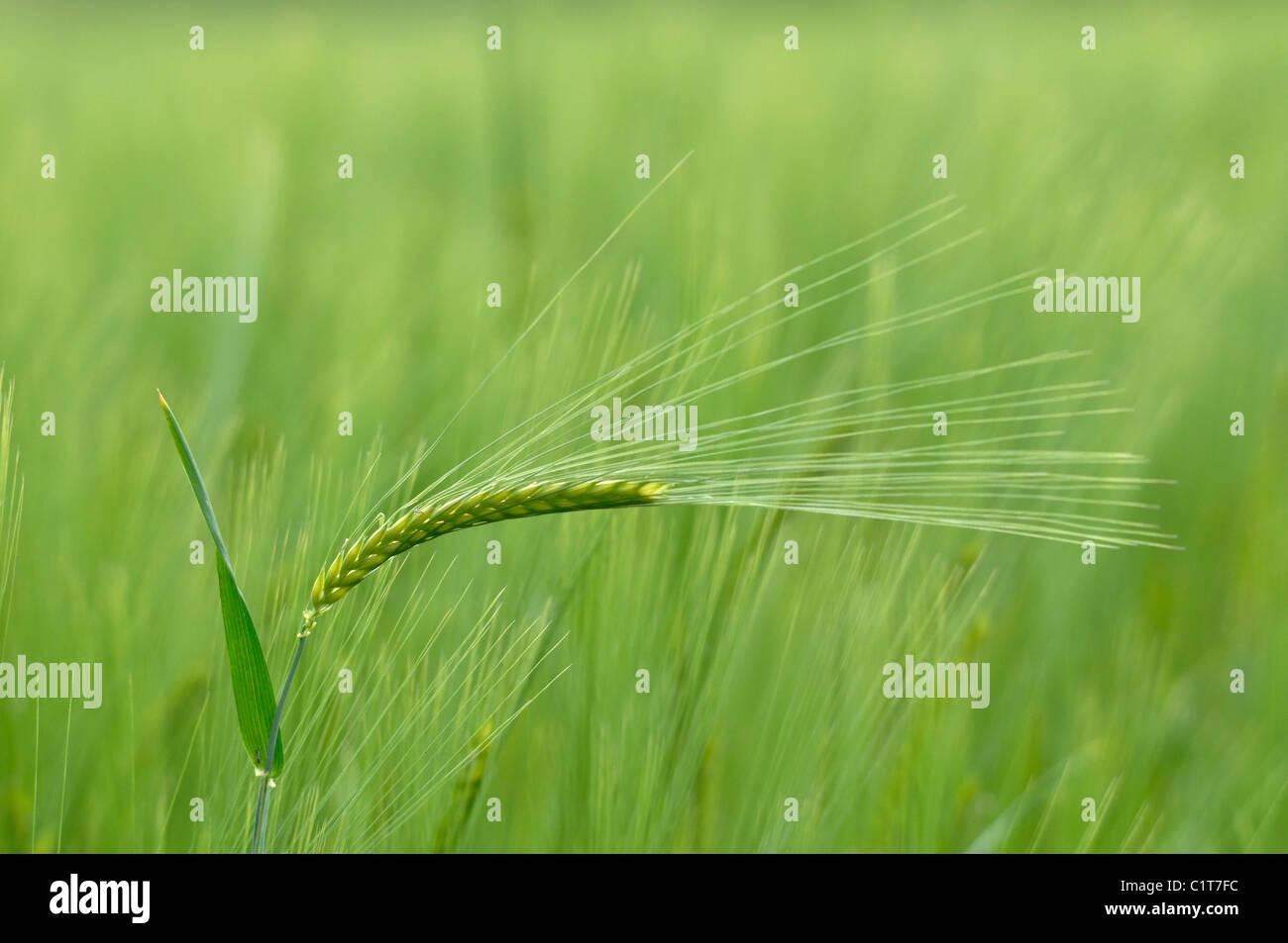 Una singola erba d'orzo Immagini Stock