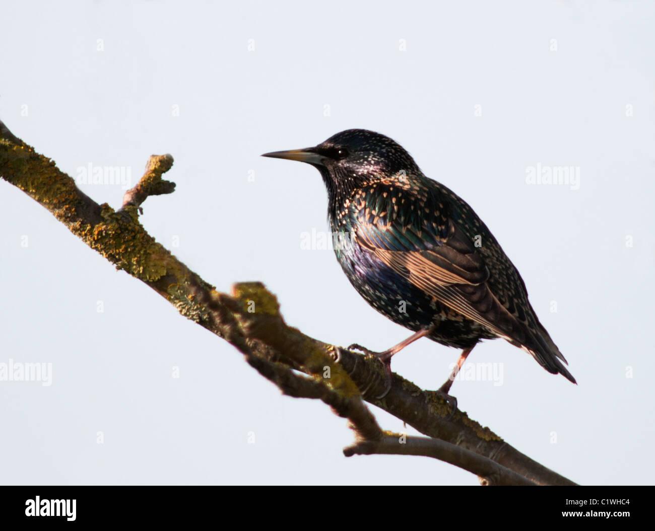 Unico Starling (Sturnus vulgaris) arroccato con la luce che mostra la molla iridescente colori per il buon effetto. Immagini Stock