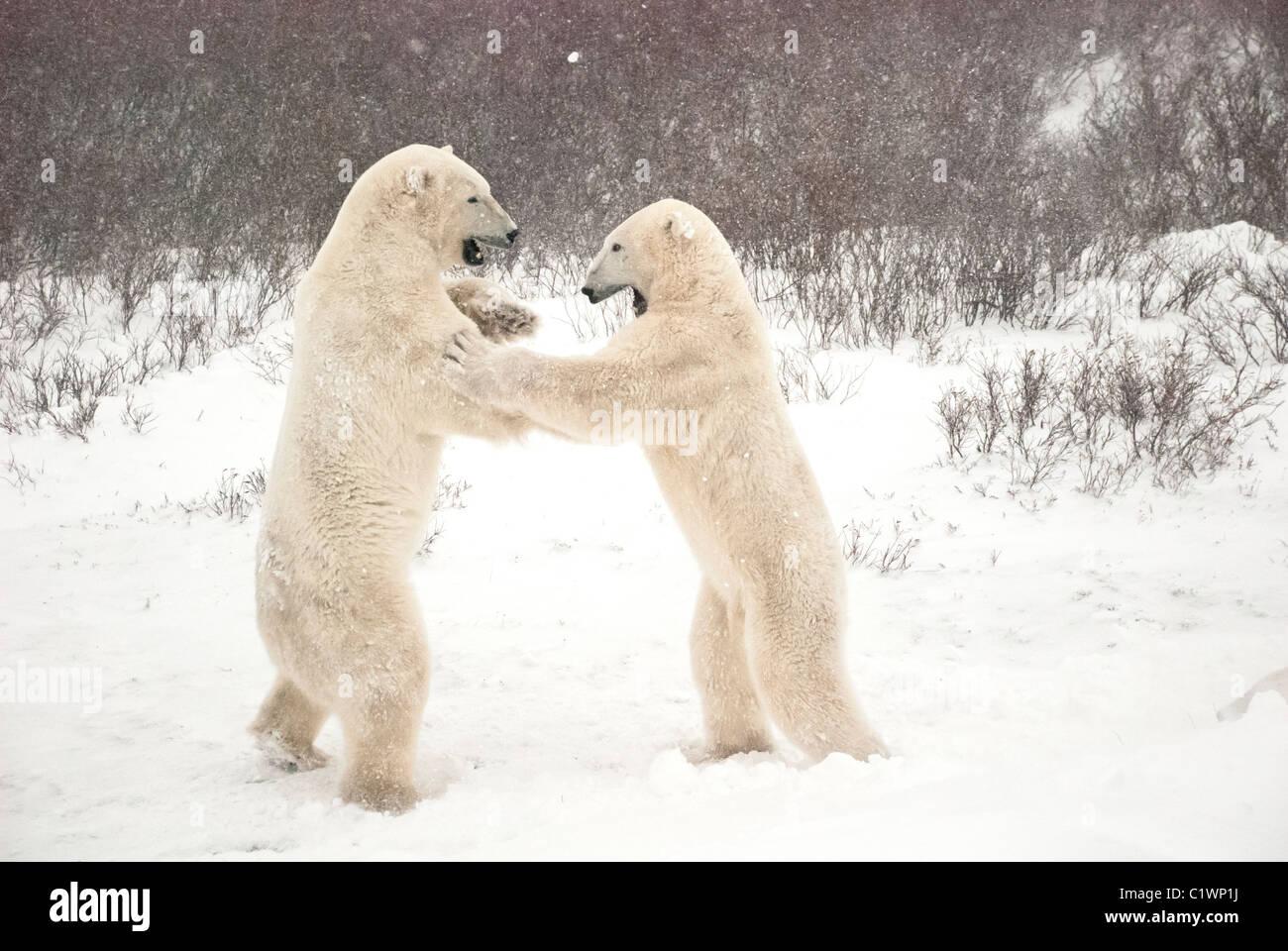 Gli orsi polari, Ursus maritimus, giocare a combattimenti, Churchill, Manitoba, Canada Immagini Stock